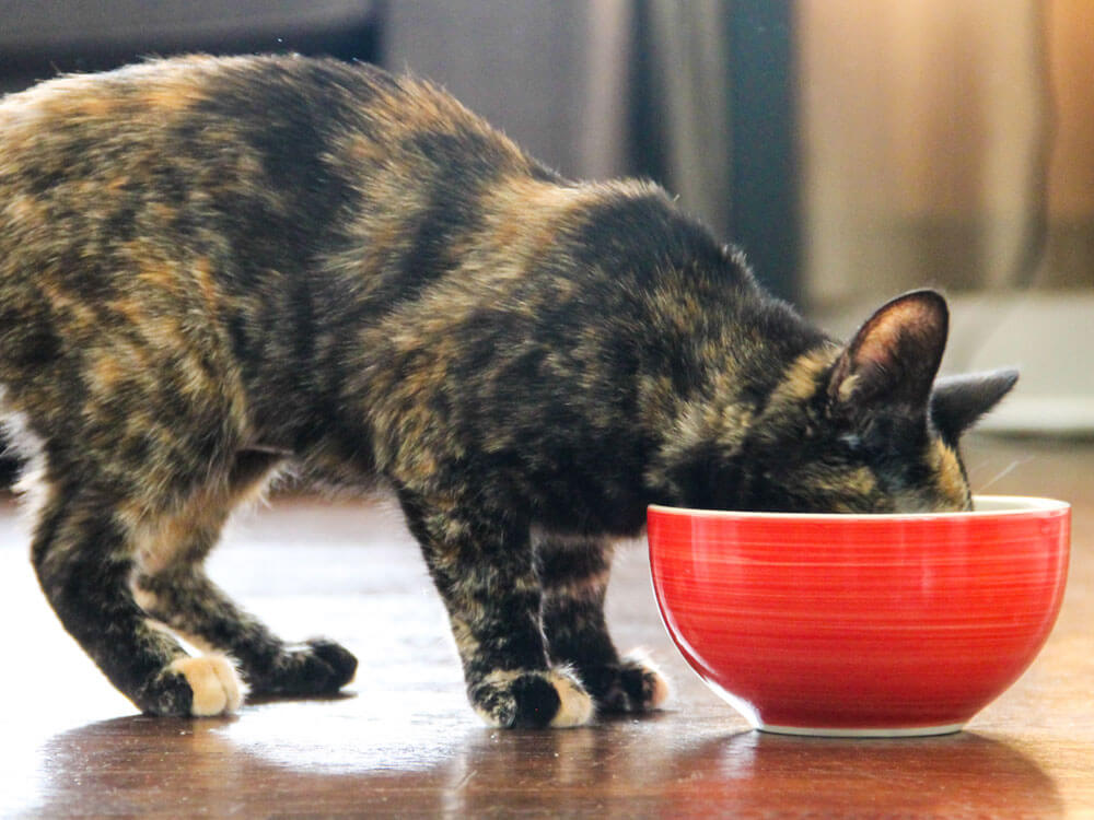 cat eating a nutritious food in a red bowl