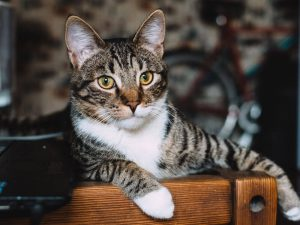 Cat FIV: Symptoms, Causes, and Treatments