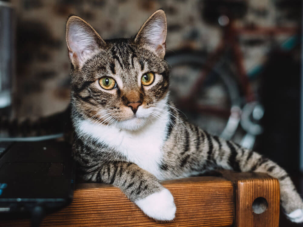 Symptoms, causes and treatments of cat FIV