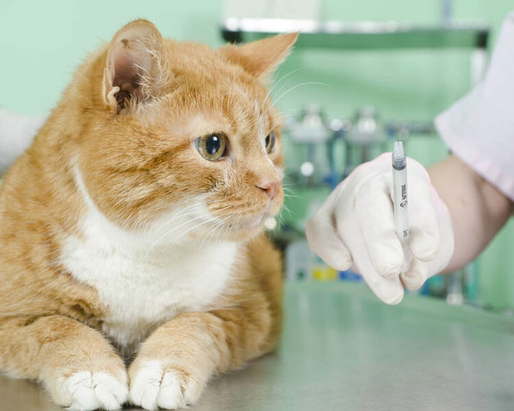 a cat with pancreatitis to be injected by a vet