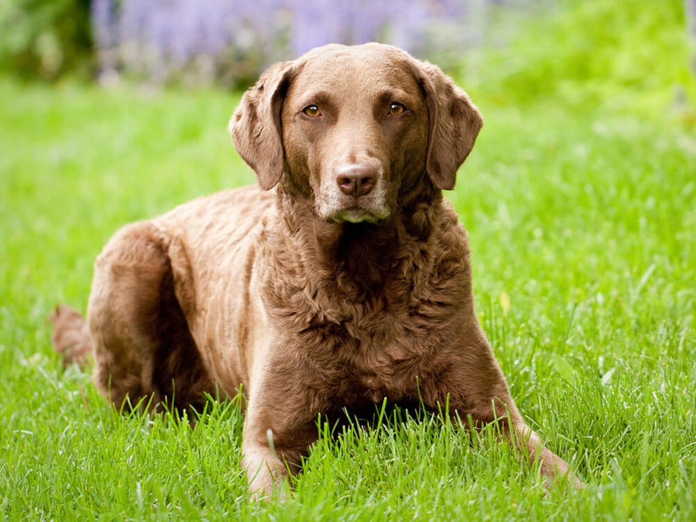 Chesapeake bay Retriever, one of the top gun dog breeds