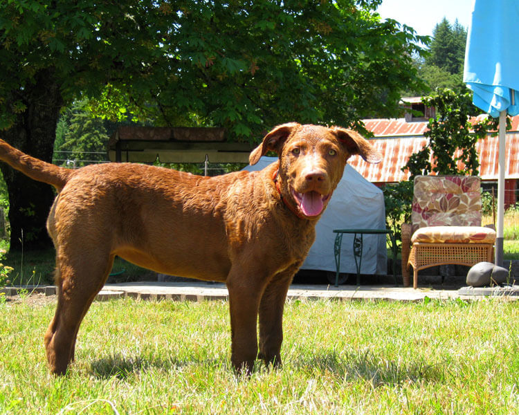 a chesapeake bay retriever enjoys playing in the grass field