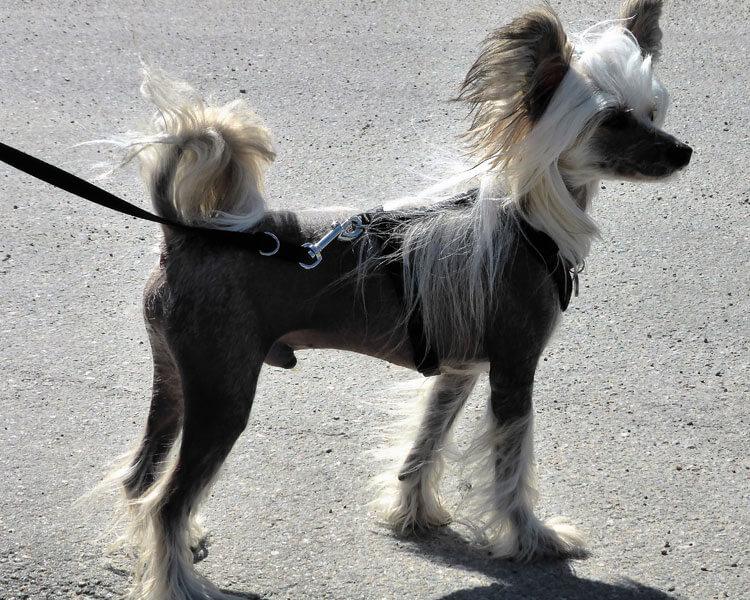 chinese crested, one of the most popular hypoallergenic dog breed
