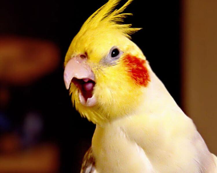 cockatiel chirping