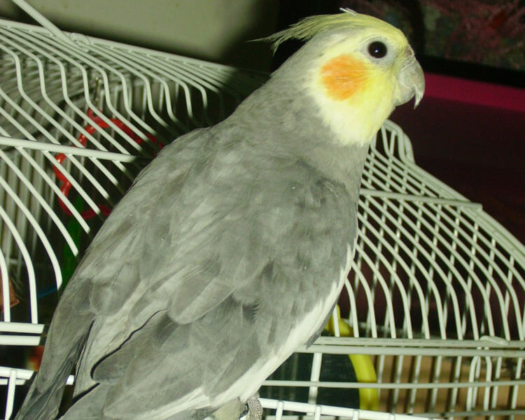 a cinnamon or fawn cockatiel