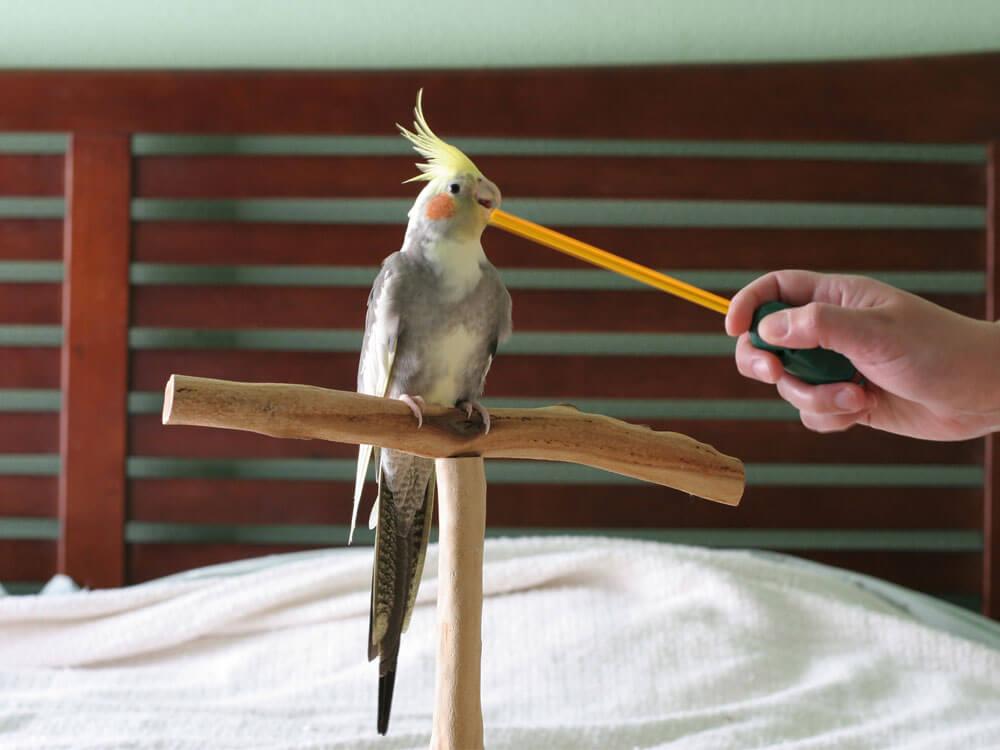 cockatiel biting a stick