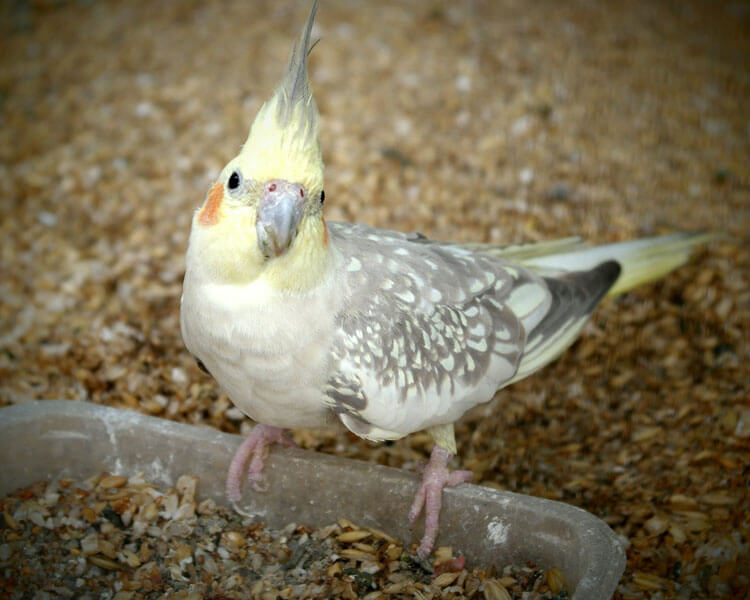 a cockatiel eating