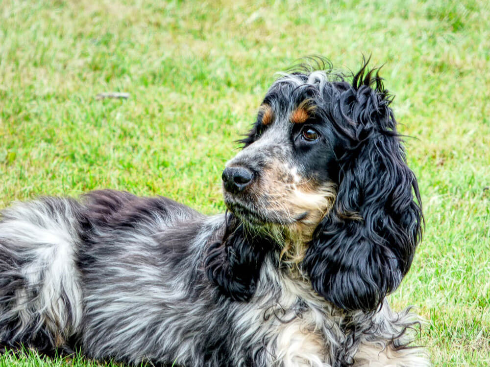 Cocker Spaniel, one of the top gun dog breeds