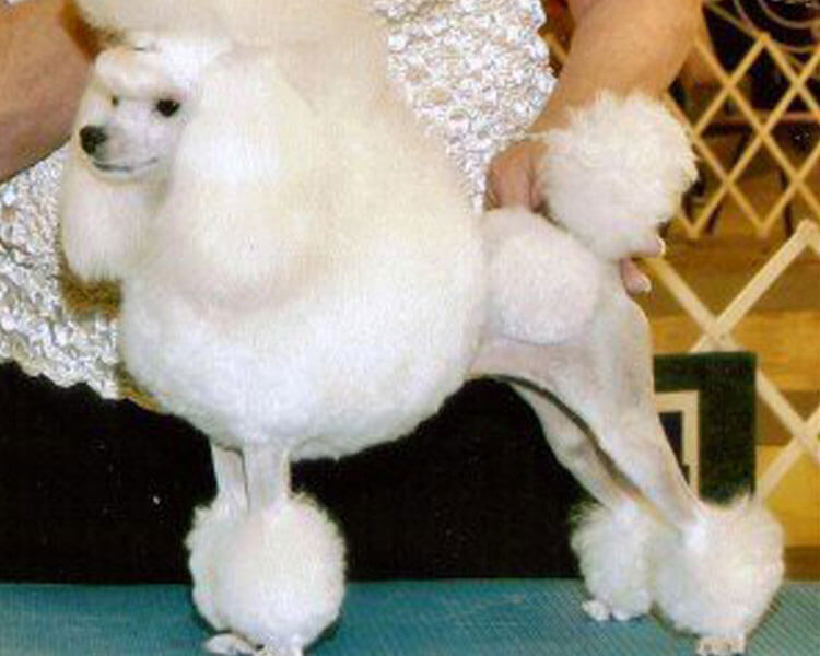 a toy poodle with a continental clip hairstyle