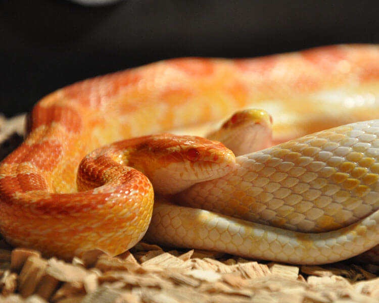 corn snake, one of the best pet snakes