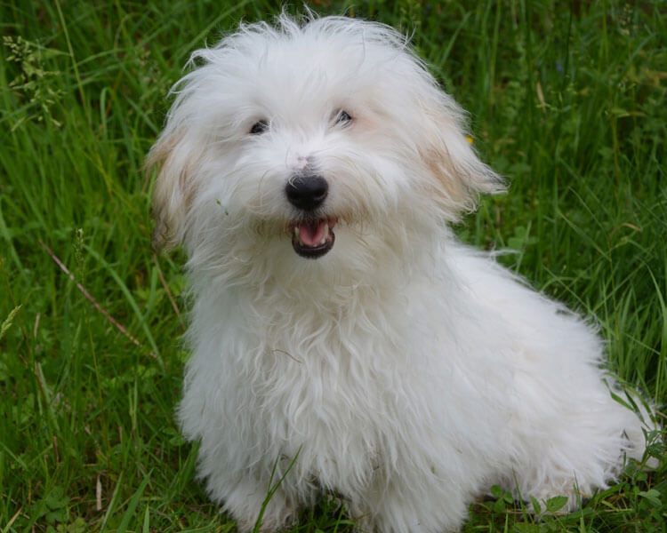 coton de tulear, one of the most popular hypoallergenic dog breed