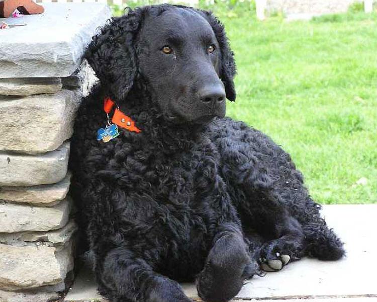 a curly coated retriever sitting near a stone