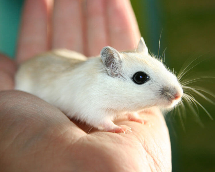 a white gerbil in a womans hand