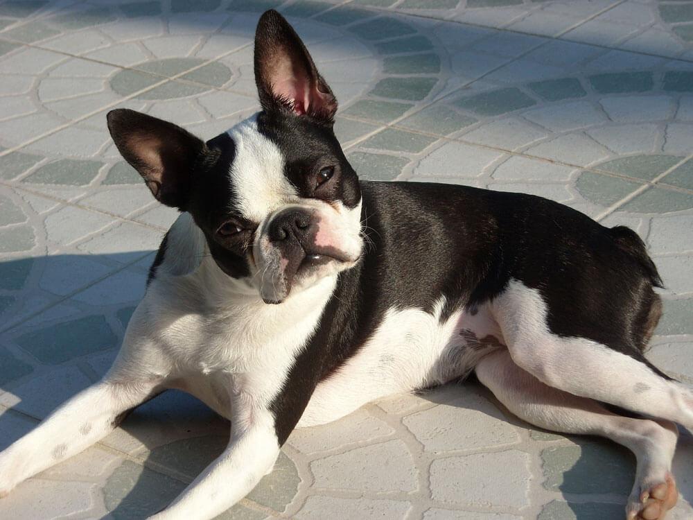 a deaf boston terrier lying on the floor