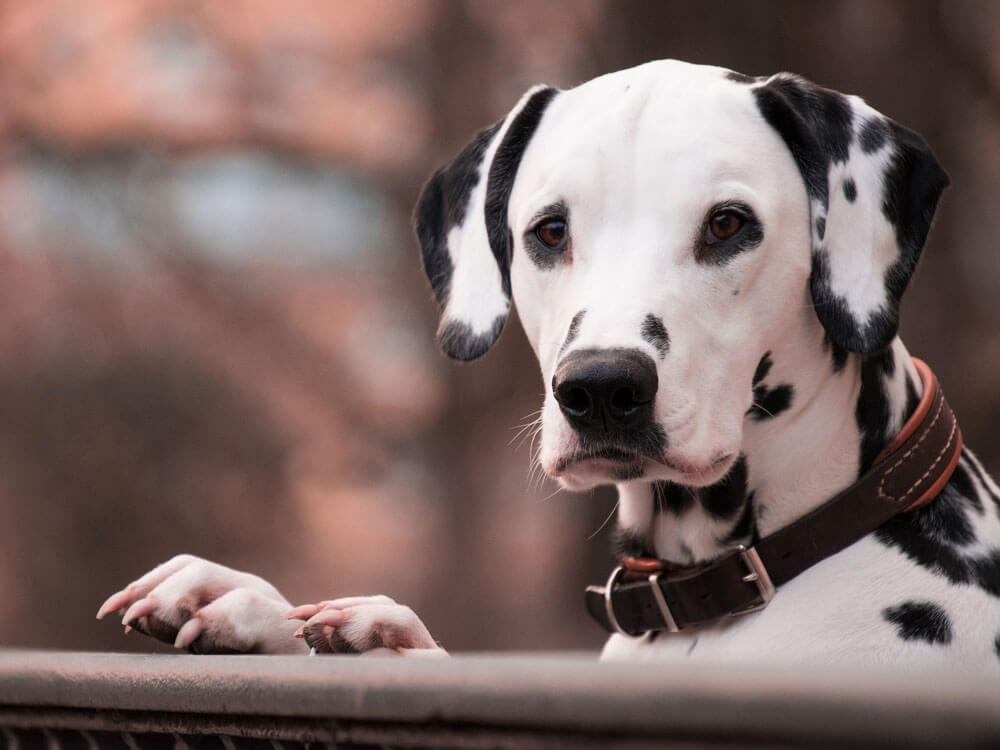 deaf dog staring