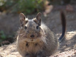 Are Degus Good Pets?