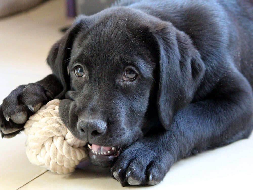 a dog chewing a rope toy