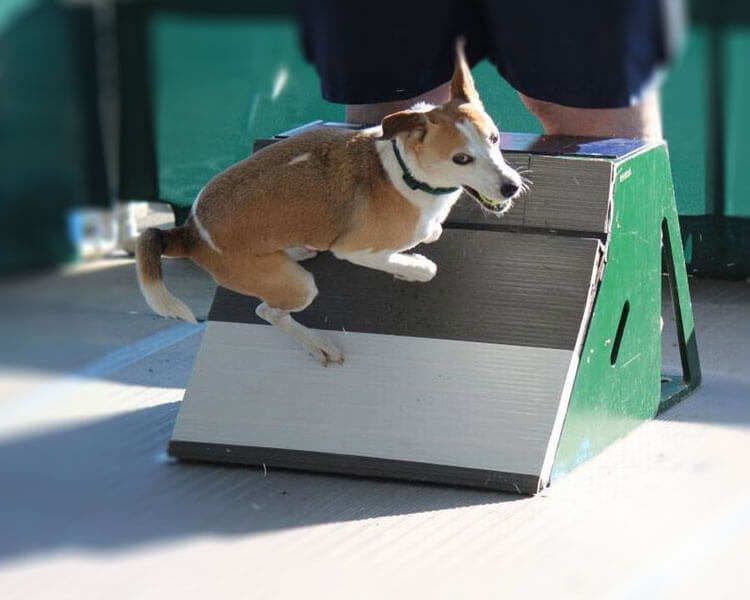 a dog jumped through a flyball box