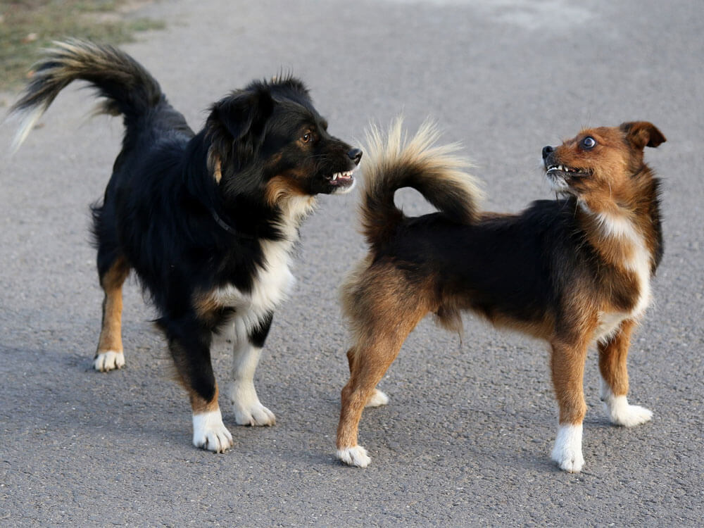 two dogs both snapping its teeth
