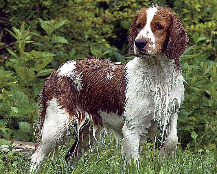 a wet english water spaniel standing in the grass