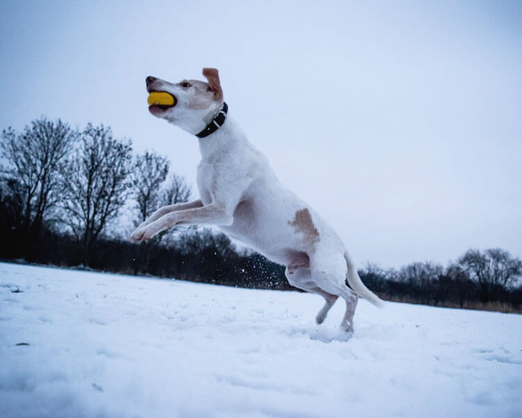 a dog fetching a thrown ball