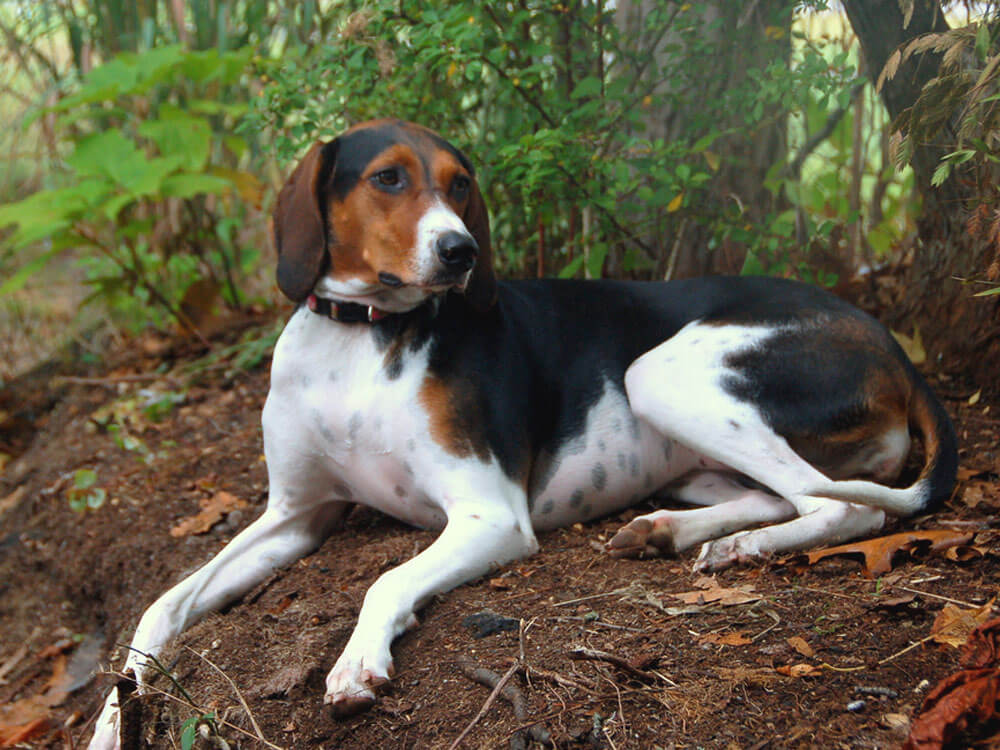 Foxhound, one of the top gun dog breeds
