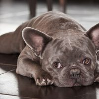 Common French Bulldog Health Problems