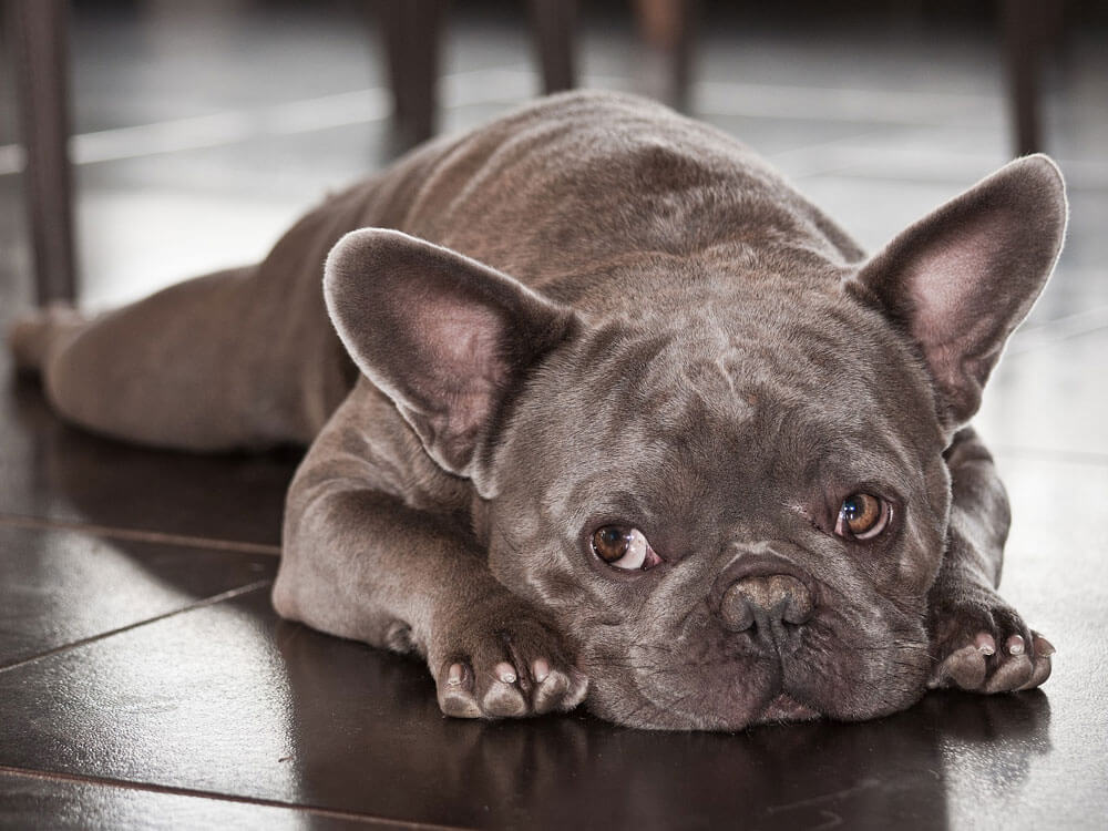 a french bulldog with health problems