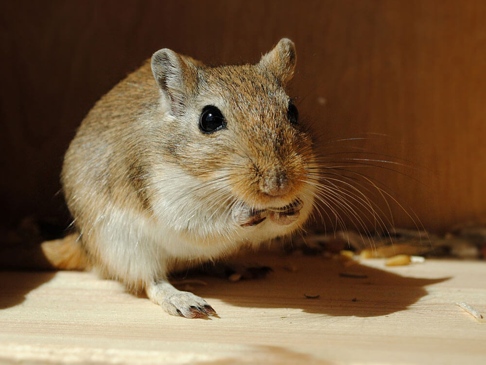 gerbil as a pet