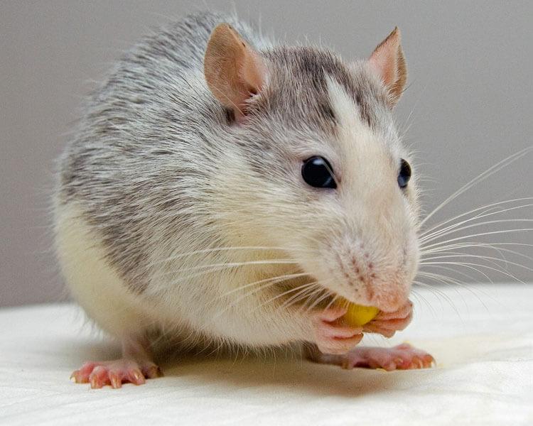 gerbil gnawing on food