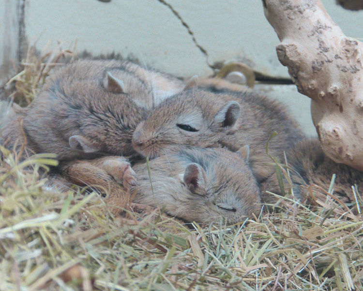 gerbils sleeping together