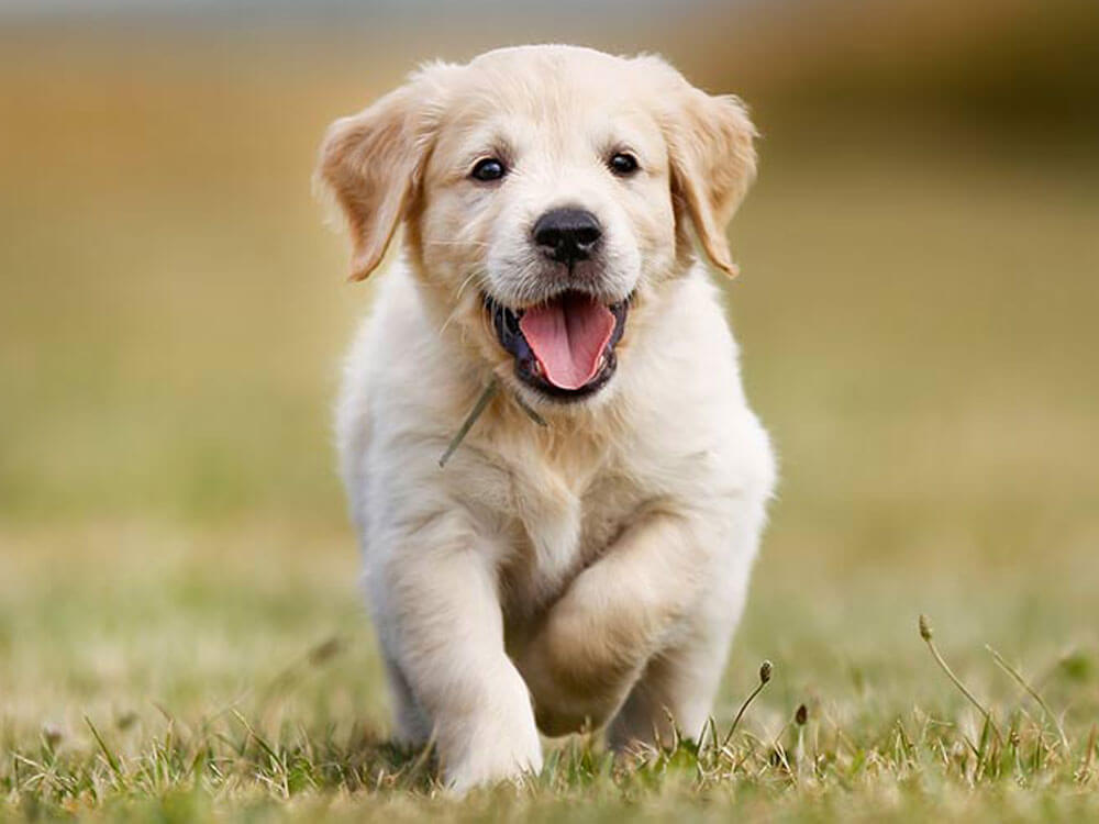 a healthy puppy running on the grass field