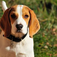 Top 9 Gun Dog Breeds