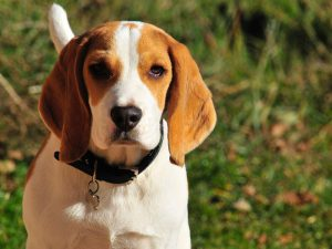 Top 9 Gun Dog Breeds