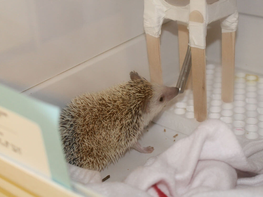 a hedgehog drinking water inside its mini house