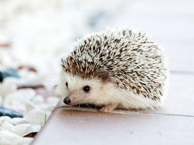 Having Hedgehogs as Pets