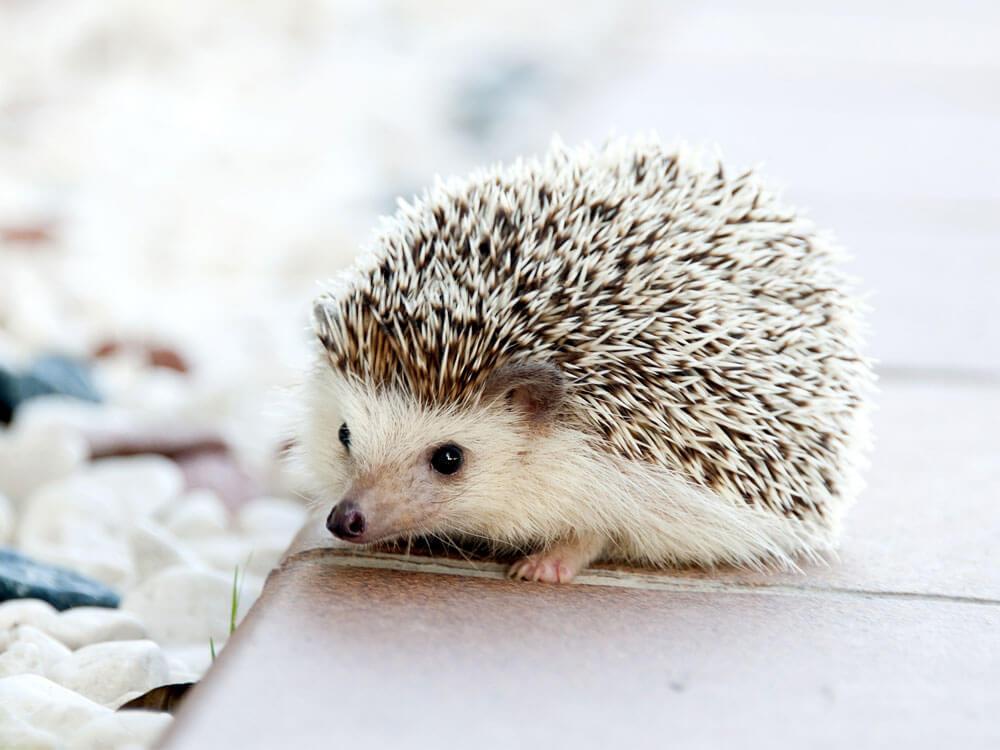 Having Hedgehogs as Pets