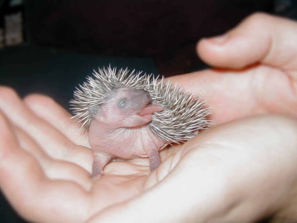 """a baby hedgehog licking itself or """"self-anointing"""""""