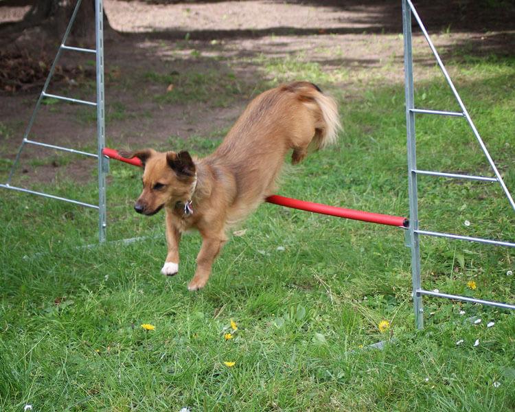 a dog jumps through a hurdle