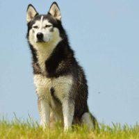 Siberian Huskies and Their Lookalikes