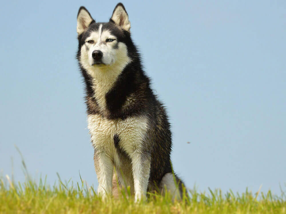 a husky sitting on the grass