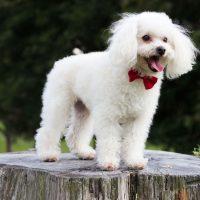 Top 10 Most Popular Hypoallergenic Dog Breeds