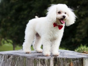 Top 10 Most Popular Hypoallergenic Dog Breeds