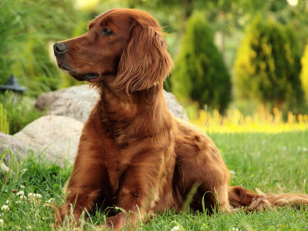 Irish Setter, one of the top gun dog breeds