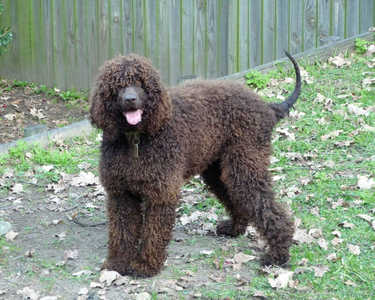a playful irish water spaniel standing on the grass