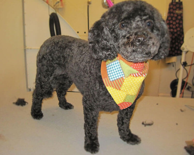 a toy poodle with a kennel cut hairstyle