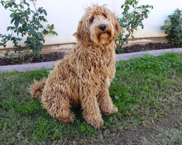 labradoodle, one of the most popular hypoallergenic dog breed