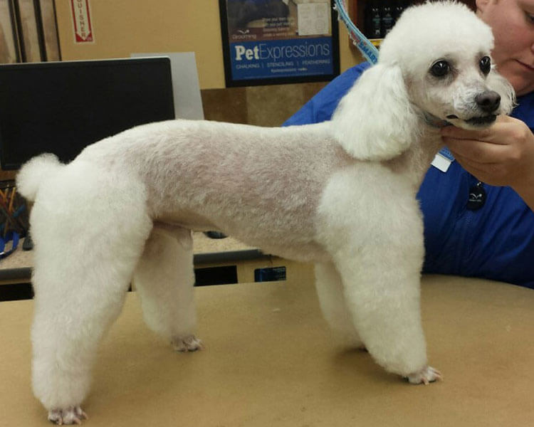 a toy poodle with a lamb clip hairstyle