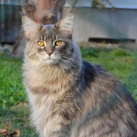 The Well-Deserved Popularity of Maine Coons