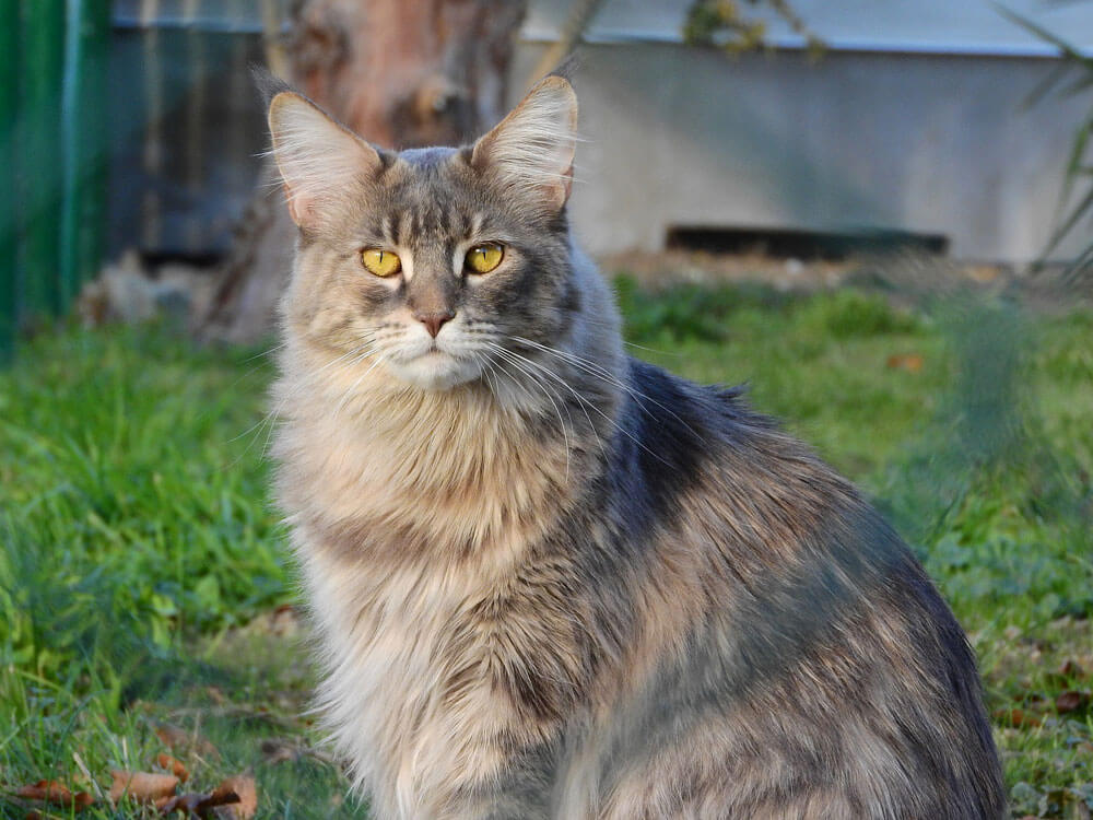 Unique Maine Coon Characteristics